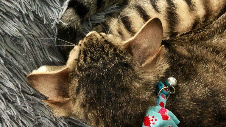 Aslan多長出的耳朵位於正常耳朵後方。圖/取自推特
