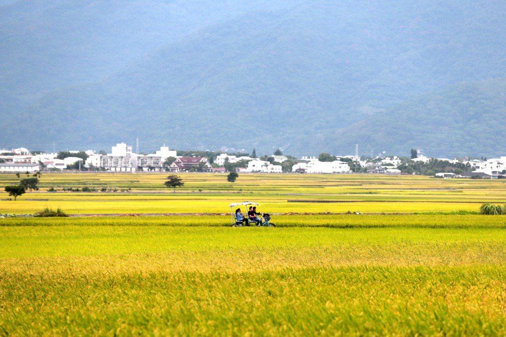 台東縣池上鄉,田間的水稻即將成熟的風景。 圖/中新社