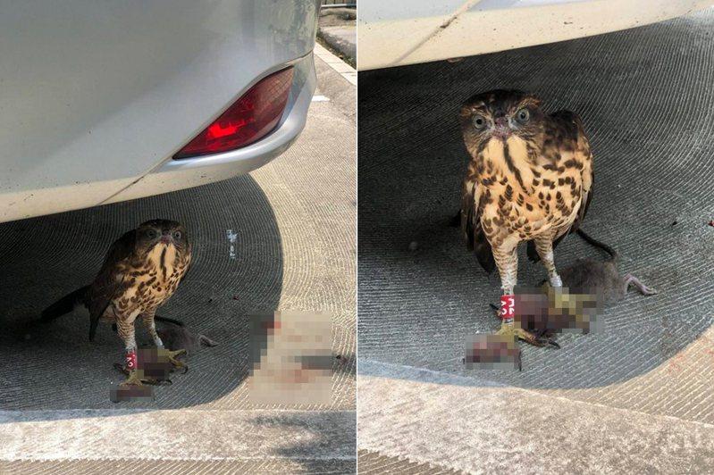 網友買午餐時遇到一隻迷途老鷹,緊張求助。 圖╱翻攝自PTT