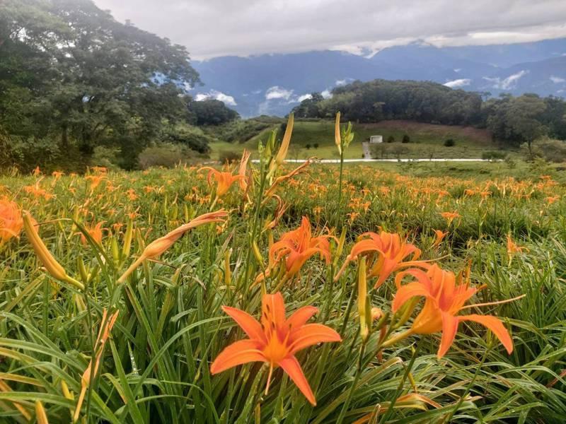 花蓮每年金針花季,盛開的金針花有如美麗花毯,吸引大批遊客賞花。圖/資料照片、讀者提供