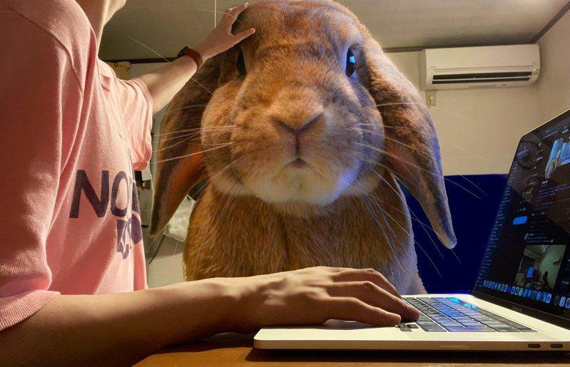 日本一位網友用照片合成技術,做出「巨兔圖」一圓和兔子共同生活的夢想。圖擷取自twitter