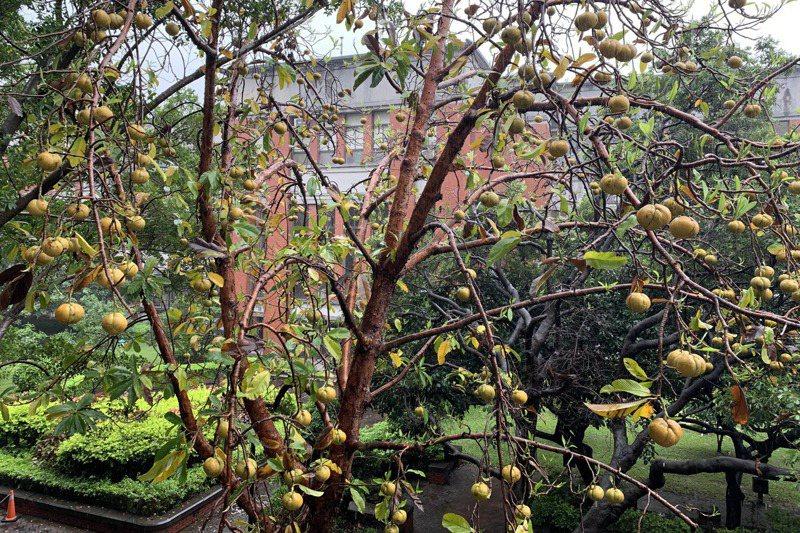 第倫桃樹高可達3、4層樓,碩大的果實一旦落下,就像從天而降的砲彈。 記者巫鴻瑋/攝影