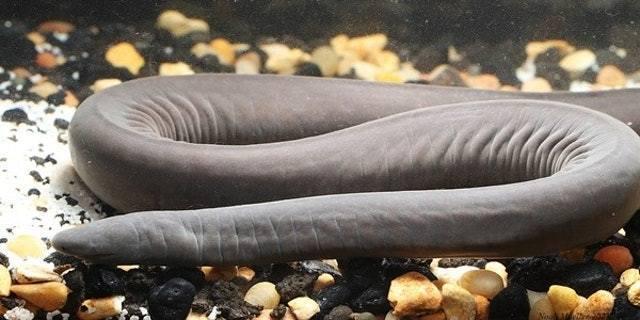 美國佛羅里達魚類和野生動物保護協會(FWC)日前成立團隊調查「陰莖蛇」。 資料圖片/Florida Museum