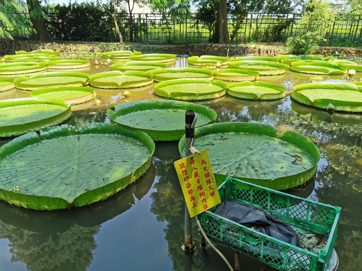 蓮荷園農場的大王蓮園區,讓遊客體驗感受新鮮。 圖/曾增勳 攝影