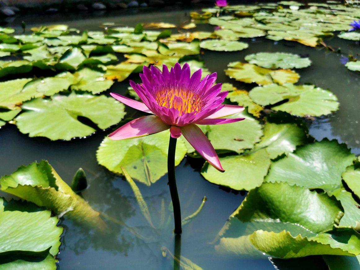 蓮園紅、白、紫、粉蓮花開花爭艷,吸引遊客拍照打卡。  圖/曾增勳 攝影