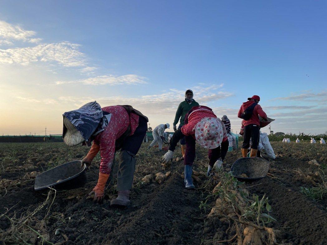 農遊趣的地瓜,是來自中南部農作休耕後的土地,土壤為半砂土略帶鹼鹹性,因此所出產的...