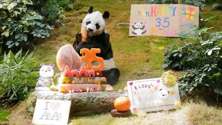香港海洋公園貓熊,提前品嚐特製生日蛋糕 。圖╱ 海洋公園提供