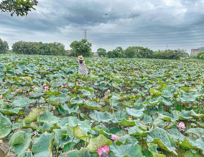 因應疫情延期的花季,在農民努力維護下延長了花期,讓遊客仍能賞見滿開的荷花。圖/IG@iam__bi__bi授權