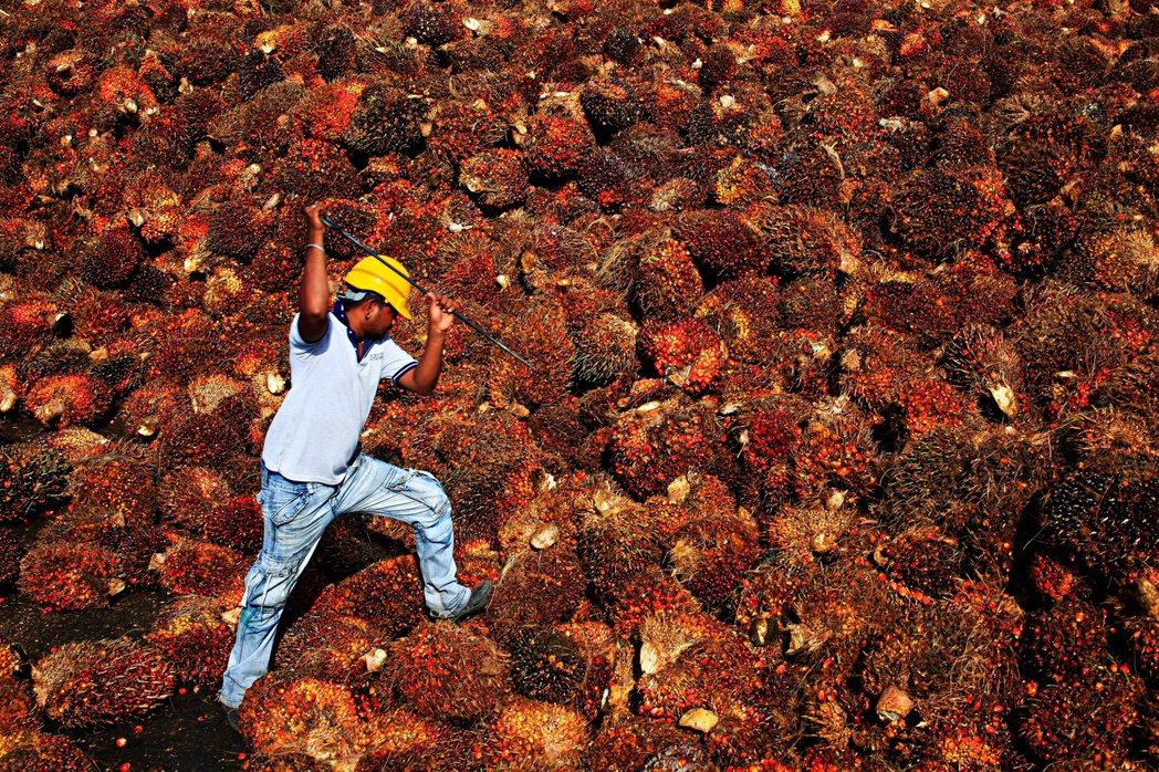 馬來西亞油棕業者因為疫情導致勞力不足而無法充份獲益,棕油協會估計因為勞力短缺可能...