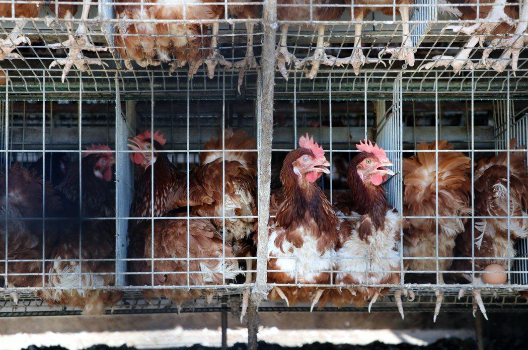 母雞長年被關在狹窄籠子,宛如被慣老闆壓榨的勞工。 圖/台灣動物社會研究會提供
