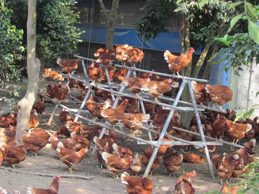 設置棲架供母雞站在高處歇息,符合禽類本性。 圖/台灣動物社會研究會提供