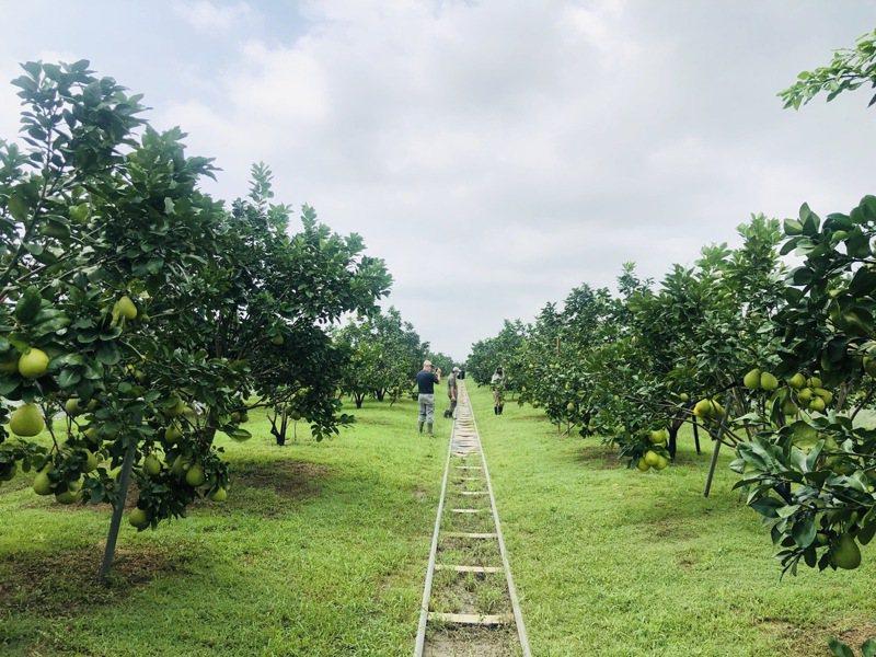 台南麻豆文旦進入成熟期,果園排水都做得相當好,只要風不大不造成落果,影響收成不大。圖/台南市農會提供