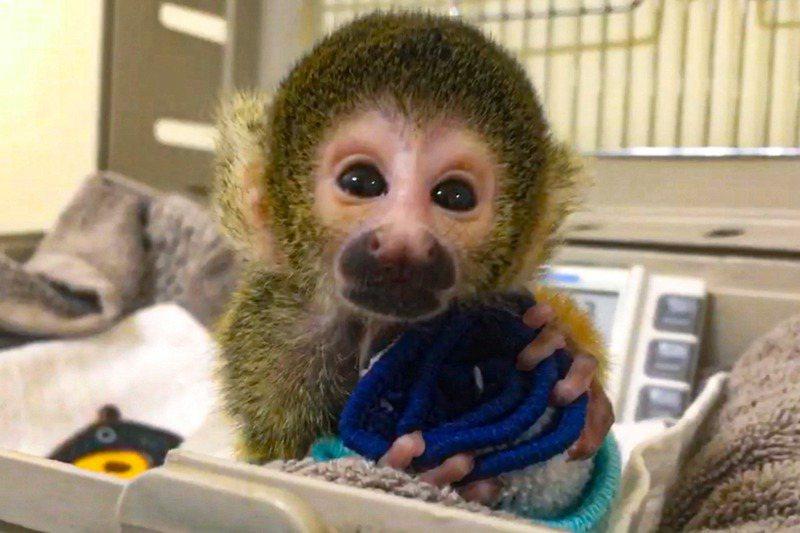 黑冠松鼠猴寶寶在人工照養下活力日漸旺盛,已經會開始到處亂爬,好奇觀察四周環境。圖/北市動物園提供