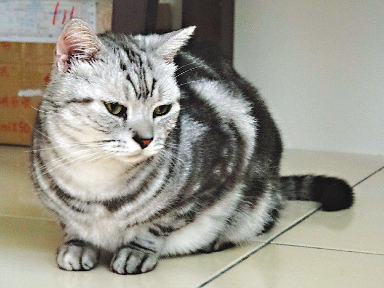 美國短毛貓獲選為日本最愛貓咪品種第一名。本報資料照