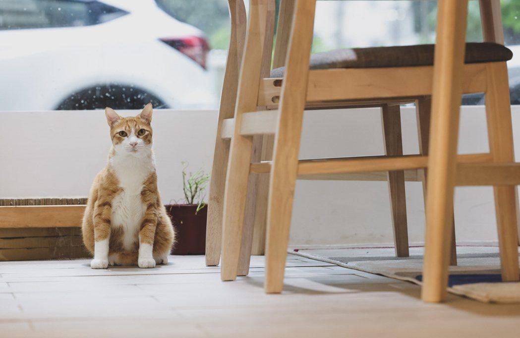 店貓「方花甲」是被方里長救起的浪貓。圖/李政龍攝影