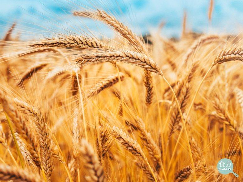 小麥作為人類的重要主食來源,因氣候變遷在種植上面臨更多挑戰。 圖/食力資料照片