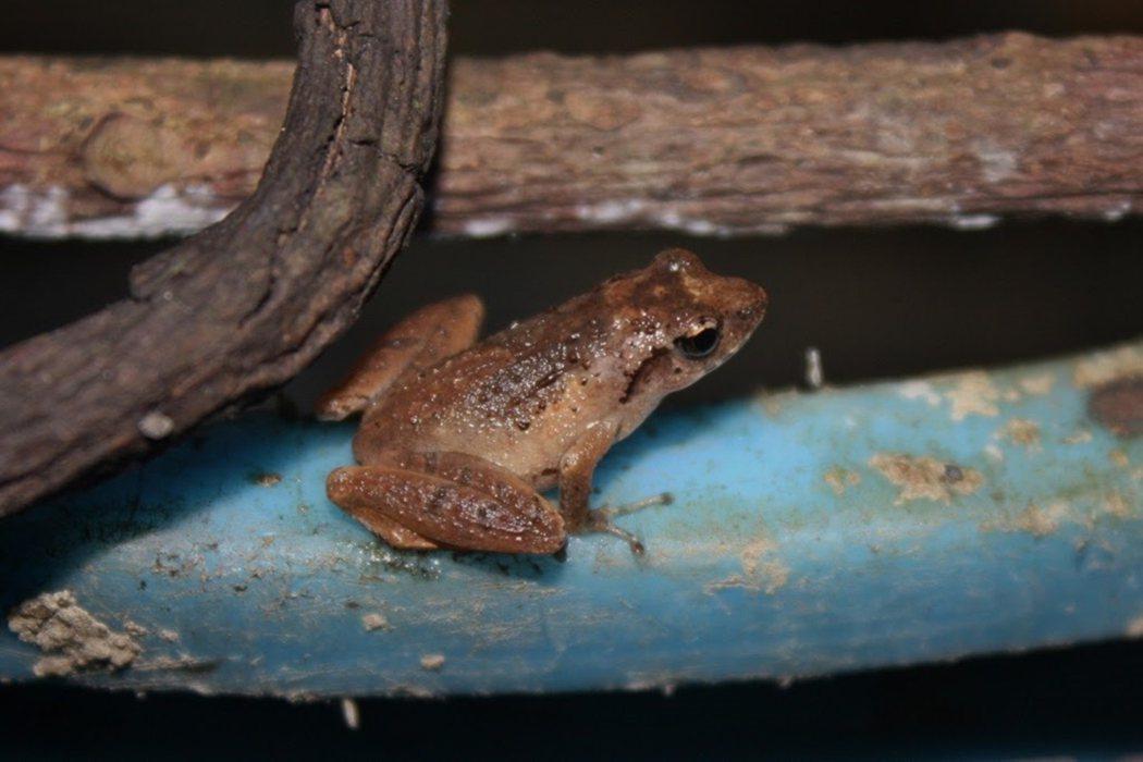 盧文氏樹蛙。 圖/維基共享