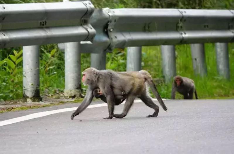 玉山塔塔加因為疫情警戒遊客減少,台灣獼猴媽媽帶著幼子「逛大街」。 圖/玉管處提供