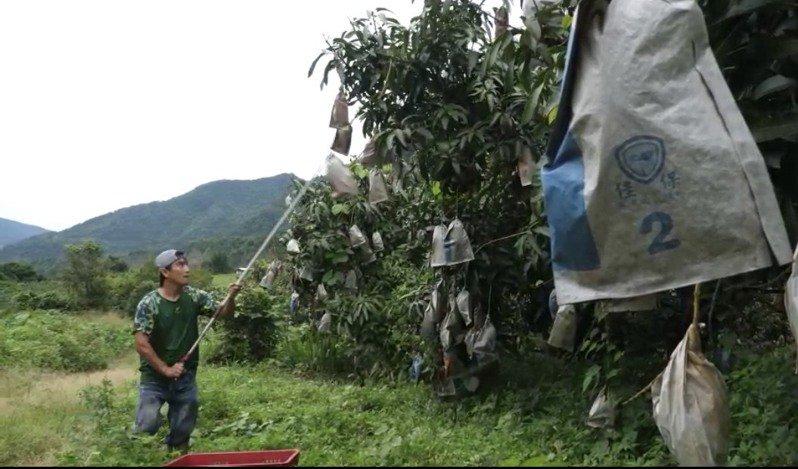 復興里理事長高華德說,山區三里因斷橋,芒果無法運下山,初估約200萬台斤以上的芒果未採收,恐超過千萬以上價值