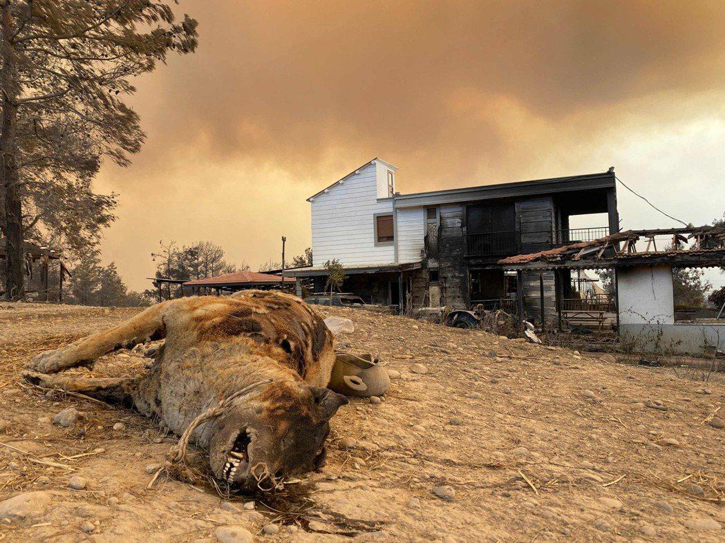 圖為在難以受控的森林大火中被燒死的動物。 圖/法新社