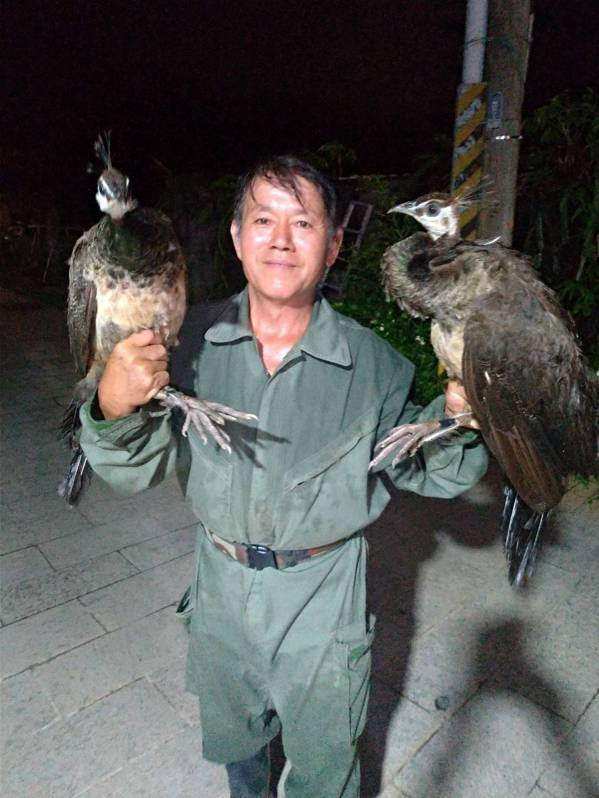 退休教師李策勵成為知名的「抓孔雀達人」,他的孔雀園裡飼養70隻以上的大小孔雀。 ...