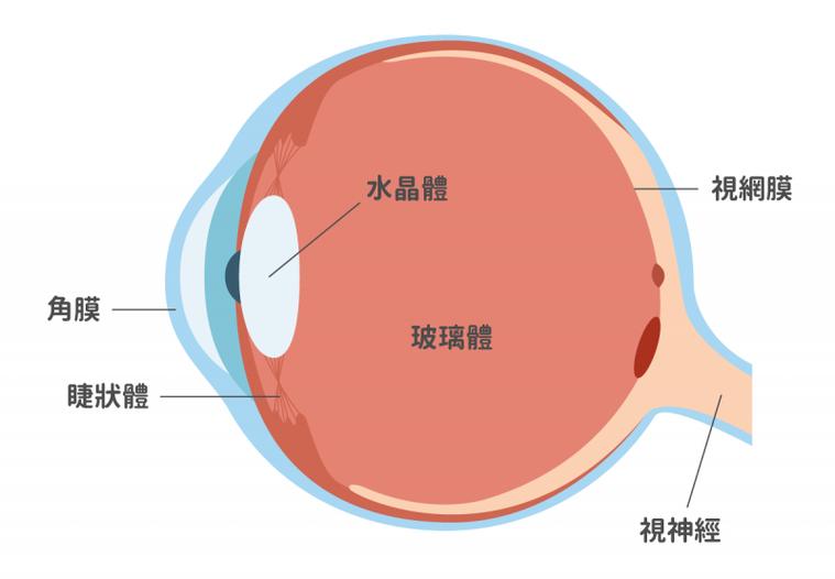 眼睛玻璃體有玻尿酸與膠原纖維蛋白兩大成分,玻尿酸可以吸收大量的水分,使眼球具有彈...