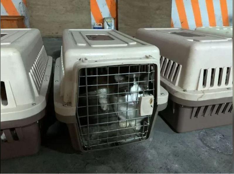 海巡單位查獲走私名貴貓隻,依法需予安樂死,專家說,人類一旦染狂犬病,未即時治療,致死率100%。記者王昭月/翻攝