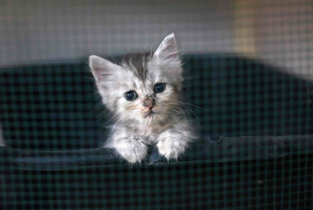 這些愛貓者要先愛自己身邊的貓,還是要在看到其他貓將被安樂死而開始對執法者大力譴責的同時,讓自己的陪伴寵物陷入健康風險中,我想他們心中自有一把尺。 圖/法新社