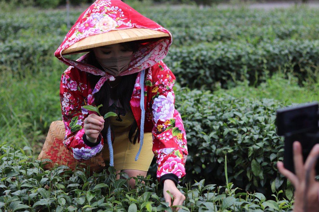 黃露瑤體驗採茶。圖/楠軒工作室提供