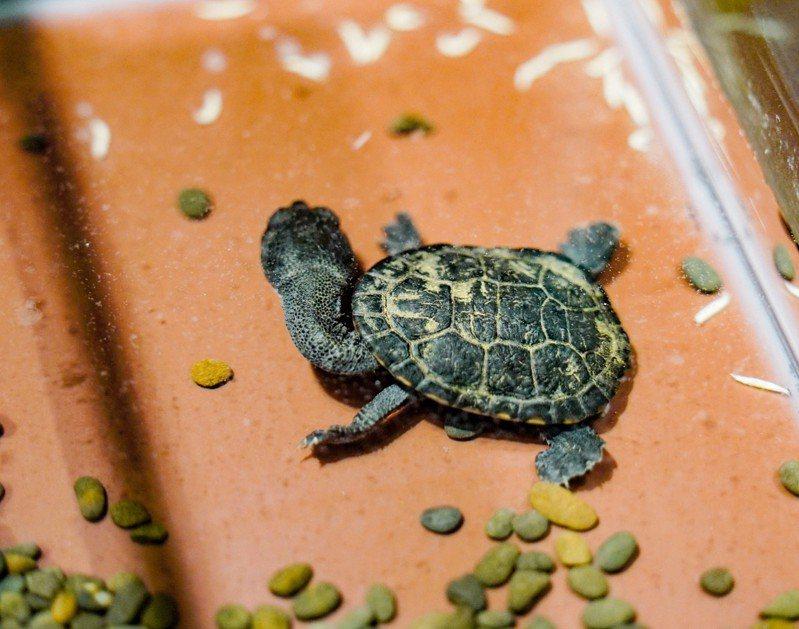 北市立動物園首次成功繁殖羅地島蛇頸龜,目前已孵育出2隻蛇頸龜寶寶。圖/北市動物園提供