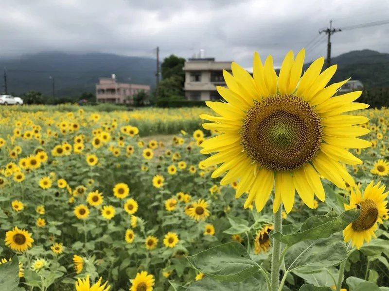 金山區農友在大片地瓜田包圍中,種了兩分地的向日葵,盛開的畫面吸引不少攝影愛好者來...