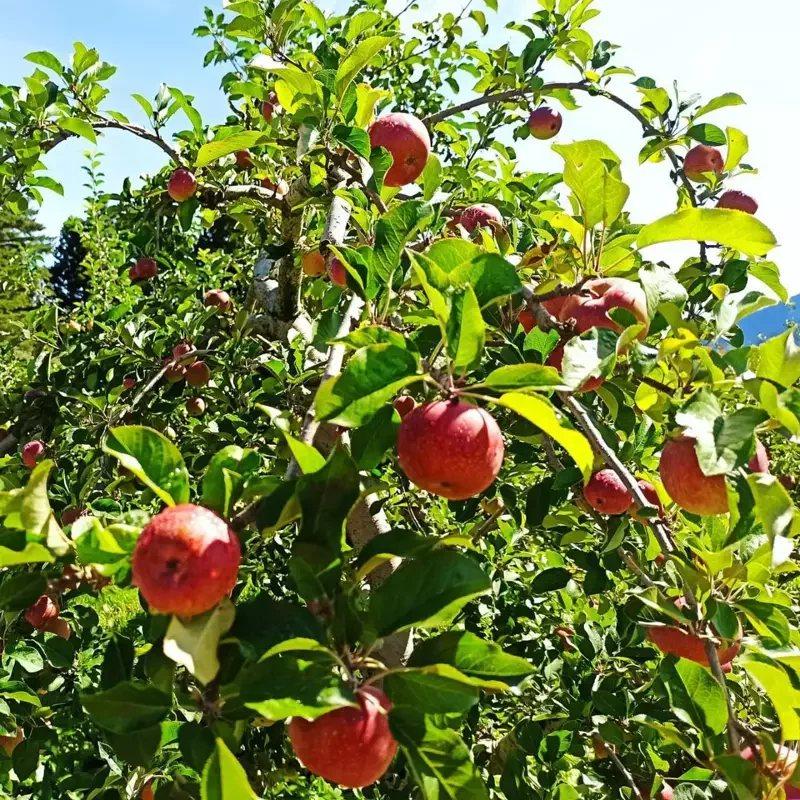 9月5日下午2點將在福壽山農場舉辦一場梨山史上第一次的蘋果園音樂會。 圖/梨山賓...