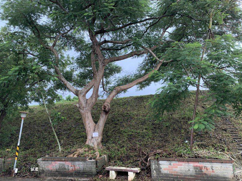 新竹縣橫山九讚頭堤防的鳳凰木根系撐破花台,支持移樹與反對移樹的民眾還會此發生衝突。記者巫鴻瑋/攝影