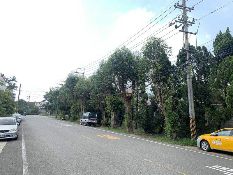 新竹縣關西店子岡的尤加利老樹樹齡近百年,地方希望能被列管,將老尤加利保護起來。記者巫鴻瑋/攝影
