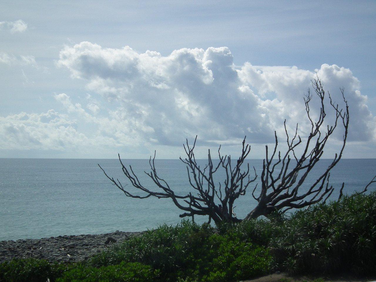 村落海邊的「百年瓊崖海棠夫妻樹」,雖枯死多年,且歷經無數大小颱風侵襲,仍屹立不倒...