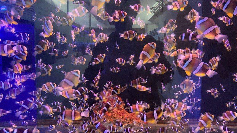 海科館飼養著許多海洋生物,這些可愛的海洋生物在研究人員細心的照料下,每天都吃得頭好壯壯。圖為小丑魚。圖/海科館提供