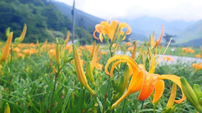 武陵農場的金針花海目前正盛開。 圖/武陵農場提供