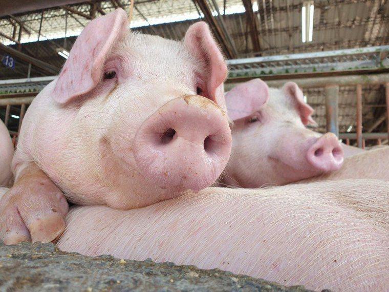 不少人認為,吃廚餘的豬,肉質比較好吃,比較香?學者認為,這只是一種迷思,廚餘餵飼...