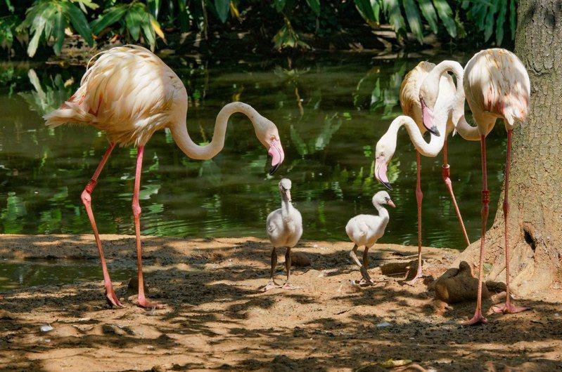 目前水禽區的島上有兩對大紅鶴爸媽正在照養雛鳥。圖/北市動物園提供