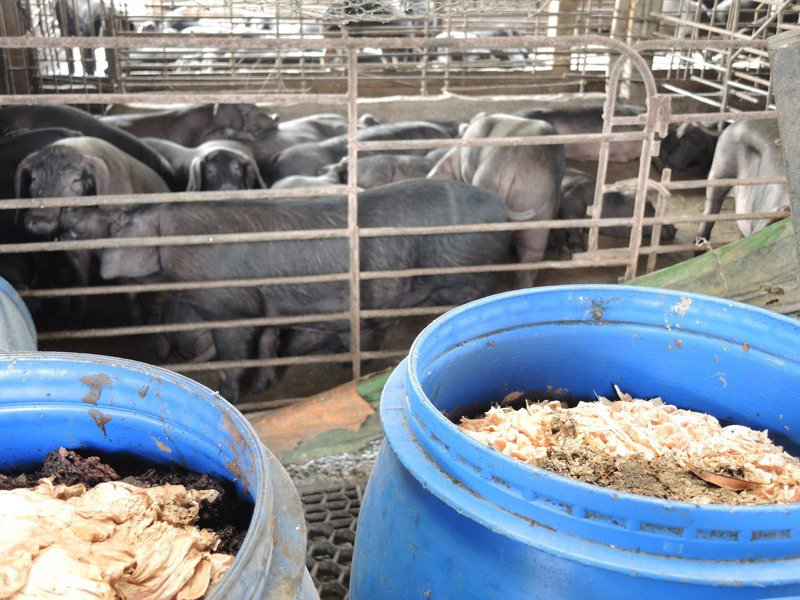 採取飼料養豬的豬農認為,廚餘除了可能帶來疫病,來源不確定性高,等於讓台灣養豬產業一起跟著冒險,養豬業應趁這個時機進行改革,不再用廚餘餵豬。圖/聯合報系資料照片