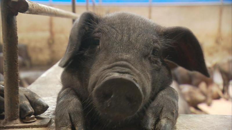 本土黑豬主食來源是廚餘,禁用廚餘後,恐因豬農改養白豬或其他品種,面臨保存危機。圖/截自台灣本土黑豬自救會臉書