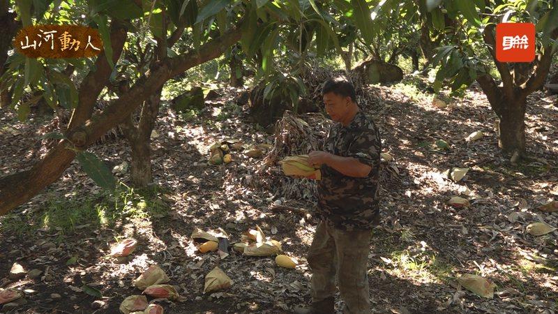 高雄桃源區果農謝有財從地上拾起一顆沈甸甸的金煌芒果,邊走邊介紹芒果,卻突然哽咽,「想一想,認了。我又沒有辦法應付這個氣候」。記者游昌樺/攝影