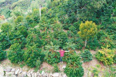 方政倫在阿里山上擁有一整片的藝伎園區。報系資料照片