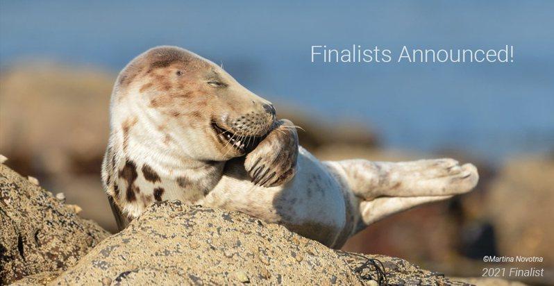 看似遮嘴咯咯笑的灰海豹寶寶。圖擷自The Comedy Wildlife