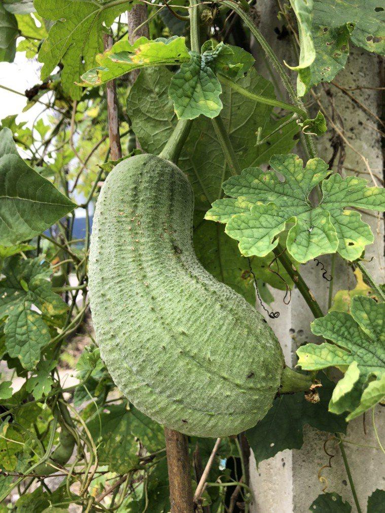 絲瓜是讓人最貼近田園的蔬果,空地搭起棚子就能栽種。圖/柯永輝