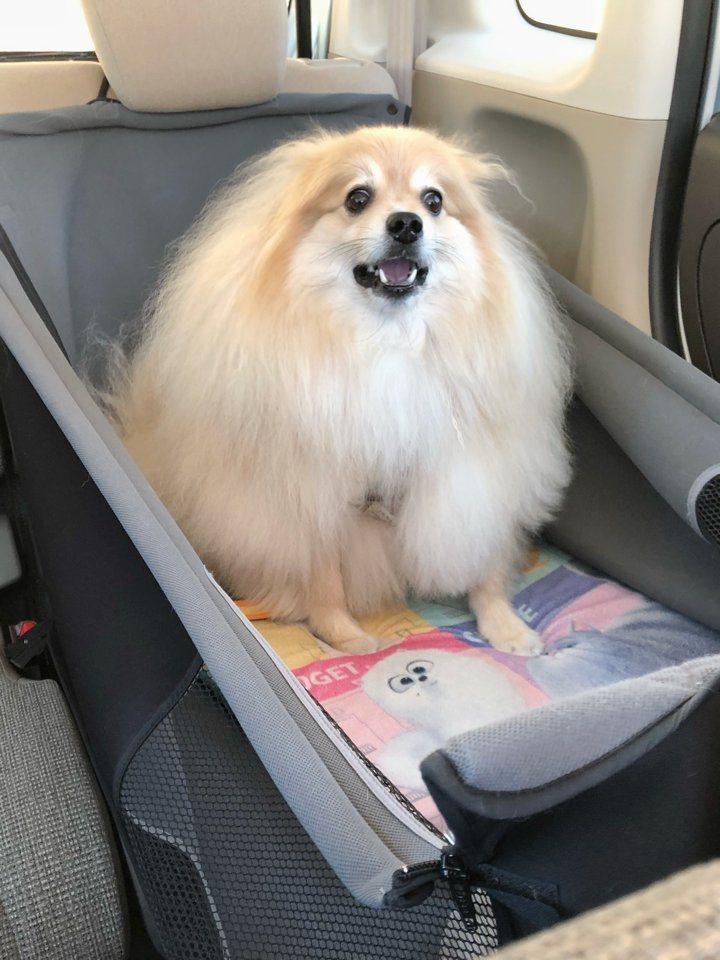 日本網友的博美犬一發現自己被帶到了寵物沙龍,瞬間露出絕望的神情。圖擷取自twitter
