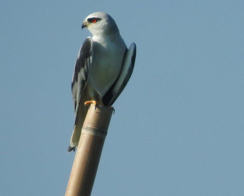 台南市東山青農王莨耿在農場架設鷹架,吸引黑翅鳶,並成為獵食的攻擊點與中繼站。圖/王莨耿提供