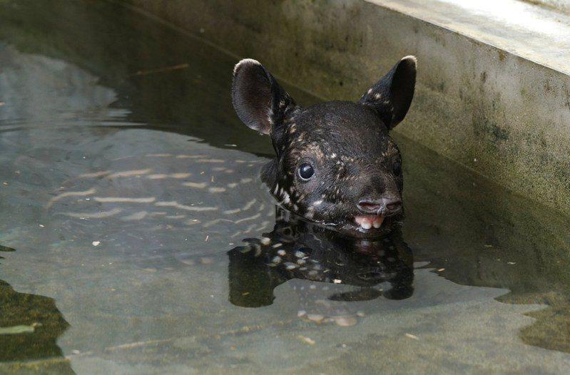 馬來貘寶寶確定命名為「貘花豆」,預計9月中旬就能見客。圖/台北市立動物園提供