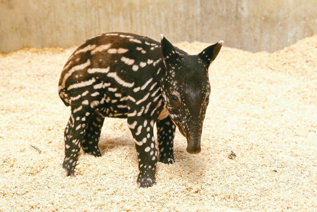 木柵動物園馬來貘寶寶確定命名為「貘花豆」,9月中旬就能見客。圖/台北市立動物園提...