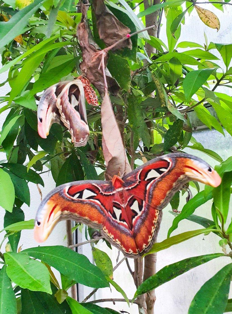 皇蛾是台灣體型最大的蛾類,雙翅展開可達25至30公分。圖/北市動物園提供